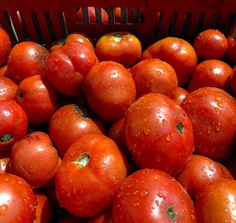 2020 トマト
